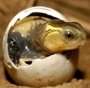 huevos de tortugas